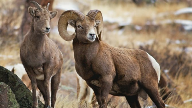 A disease is being spread by Bighorn Sheep in Zion.
