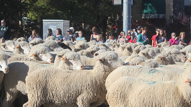 The sheep parade on Saturday morning is part of the parade which kicks of Cedar City's live stock festival every year on Main Street.